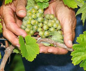 Weintrauben - Vine Grapes
