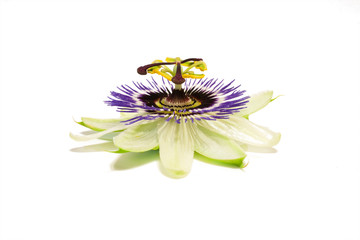Passiflora on white