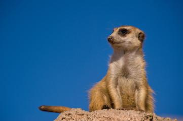 Suricate or meerkat against blue sky.