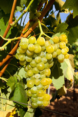 Bunch of white ripe grapes hanging on the vine