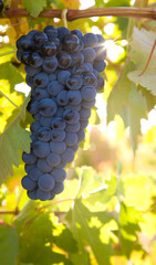bunch of ripe grapes hanging on the vine against sunlight