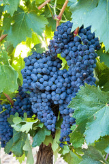Bunches of ripe grapes hanging all together on the vine