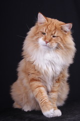 portrait of Norwegian male cat in action