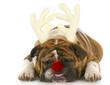 dog dressed up like rudolph