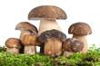 Boletus mushroom - funghi porcini su muschio