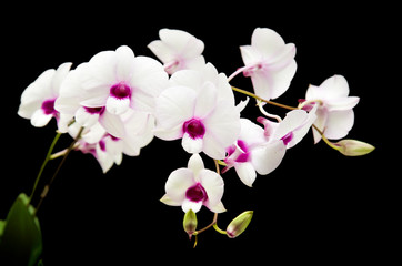 beautiful white dentrobium orchid