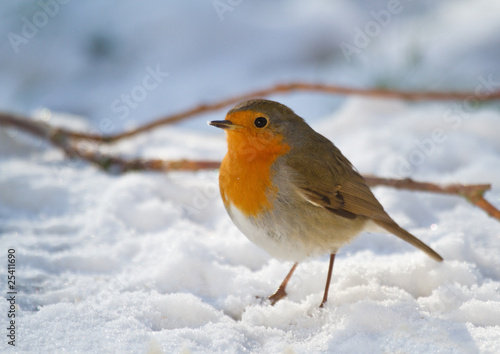 Rouge-gorge familier - European Robin - Erithacus rubecula