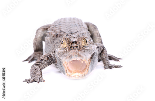 aggressive alligator isolated on the white background