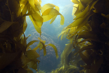 luscious green underwater kelp forest at catalian island, califo
