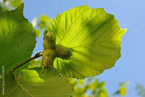 Haselnußblätter mit Frucht