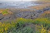 Elephant seals with wildflowers