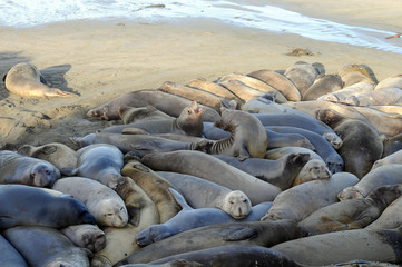 Elephant Seals crowded