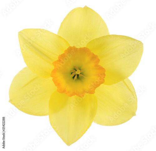 Foto op Aluminium Narcis daffodil