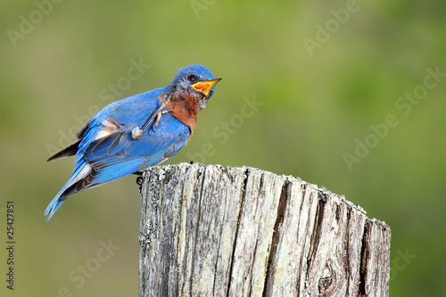 Itchy Bluebird