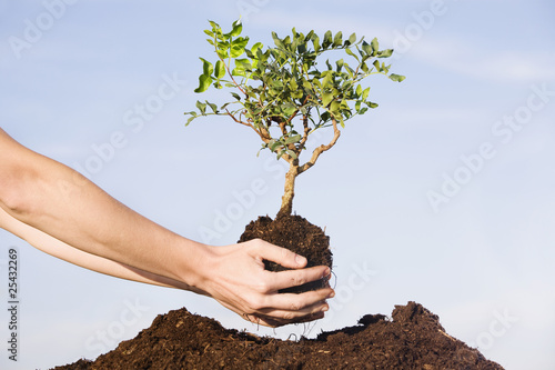 person planting pistachio tree in soil