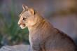 Cougar close-up - Puma concolor