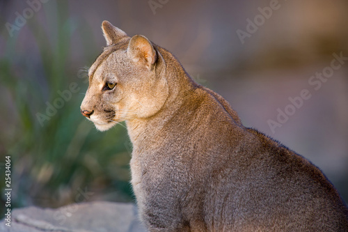 Aluminium Puma Cougar close-up - Puma concolor