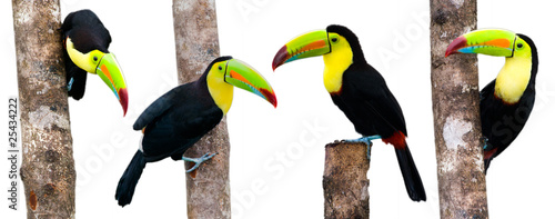 Keel Billed Toucans, from Central America. Isolated on White.