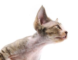 Cat Devon Rex on withe background