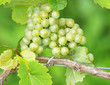 Weintrauben am Rebstock - Vine Grapes