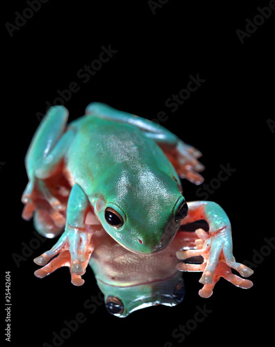 Green Tree Frog Sitting on Mirrored Surface