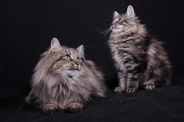 portrait of Norwegian female cat with puppy
