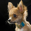 chihuahua puppy with bone beads portrait