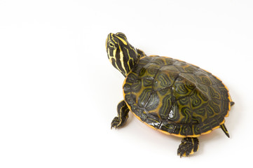 Baby Turtle isolated against a white background.
