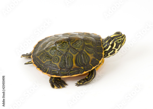 In de dag Schildpad Baby Turtle isolated against a white background