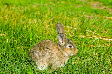 grey rabbit on green grass