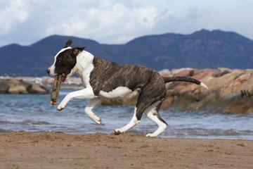 chien trottant sur la plage avec un bâton dans la gueule