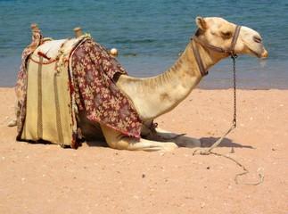 Ägyptisches Kamel