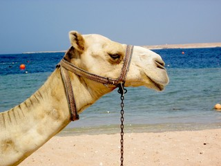 Kamel am Strand in Ägypten
