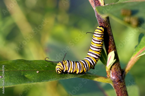 Tuinposter Vlinder Monarch Butterfly Caterpillar On Milkweed