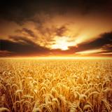 Fototapety Golden Fields