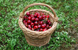 Some beautiful sweet cherry fruit in basket on the ground