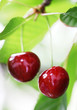 Two ripe cherry on the tree