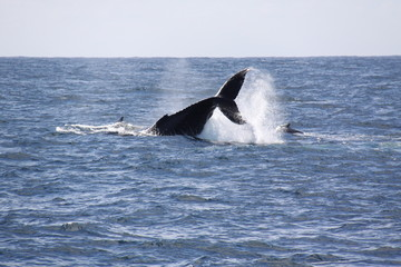 ballena Sudafrica