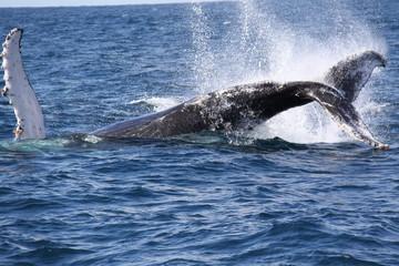 Salto de ballena II - sudafrica