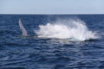 Salto de ballena - sudafrica