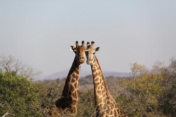 Girafas en Sudafrica