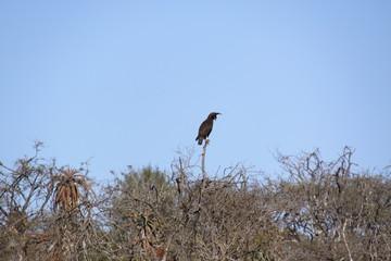 Sudafrica - ave ii