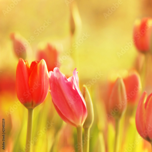 tulips in romance
