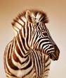Fototapeten,zebra,wild,wildlife,tier