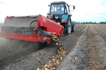 Harvesting potato