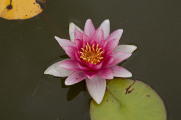 White water lily with pink centre