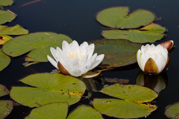 Two white blows of water lily with leafs