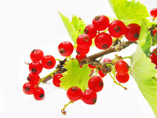 red currant branch with leaves