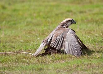 Peregrine falcon mantling her prey