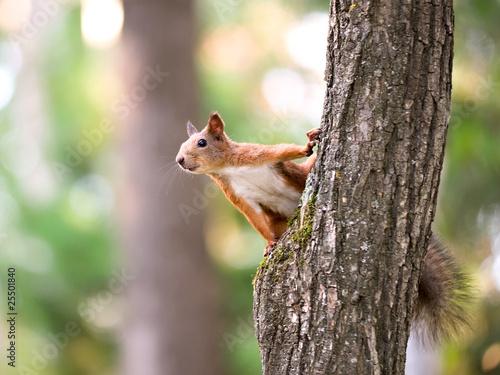Papiers peints Squirrel Squirrel sitting on the tree